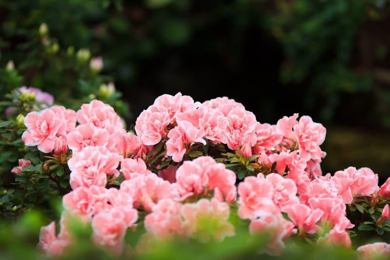 Rosig blommabuske arkivbild
