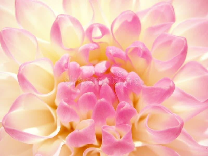 rosig fin blomma arkivbild