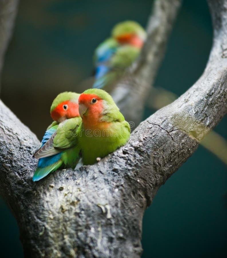 Rosig-gegenübergestellte Lovebirds lizenzfreies stockfoto