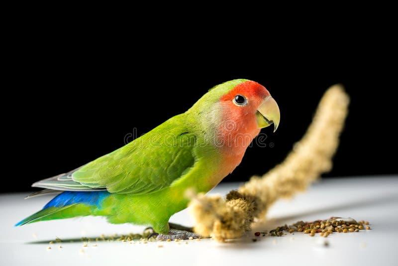 Rosig-gegenübergestellter Lovebird lizenzfreies stockfoto