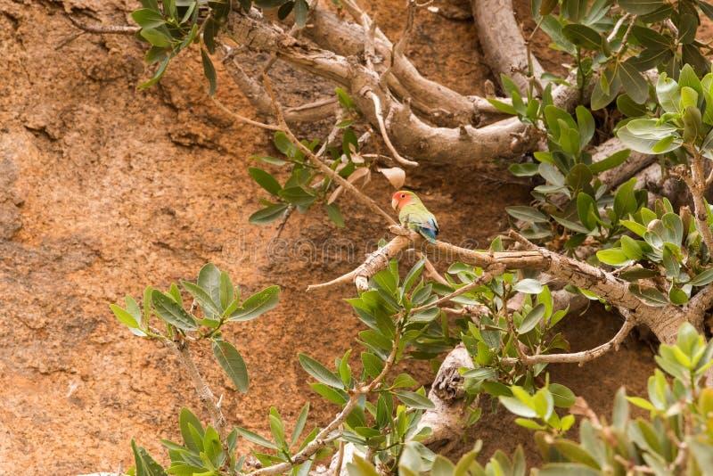 Rosig-gegenübergestellter Lovebird stockfotos