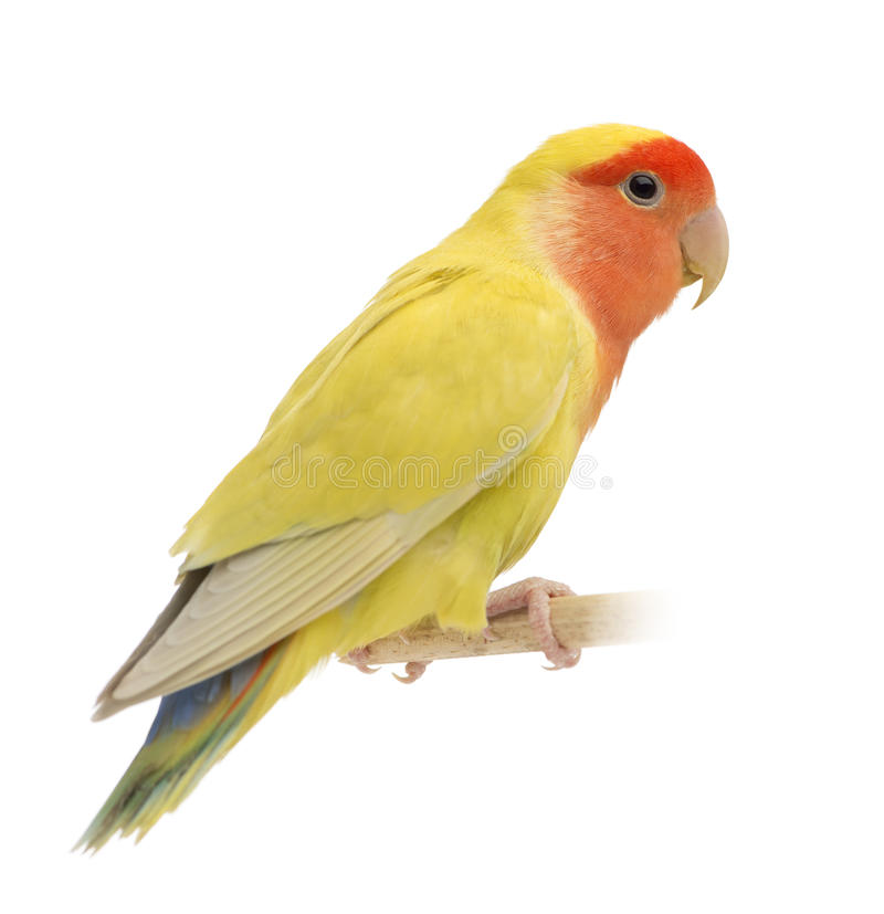 Rosig-gegenübergestellter Lovebird, Agapornis roseicollis lizenzfreies stockfoto
