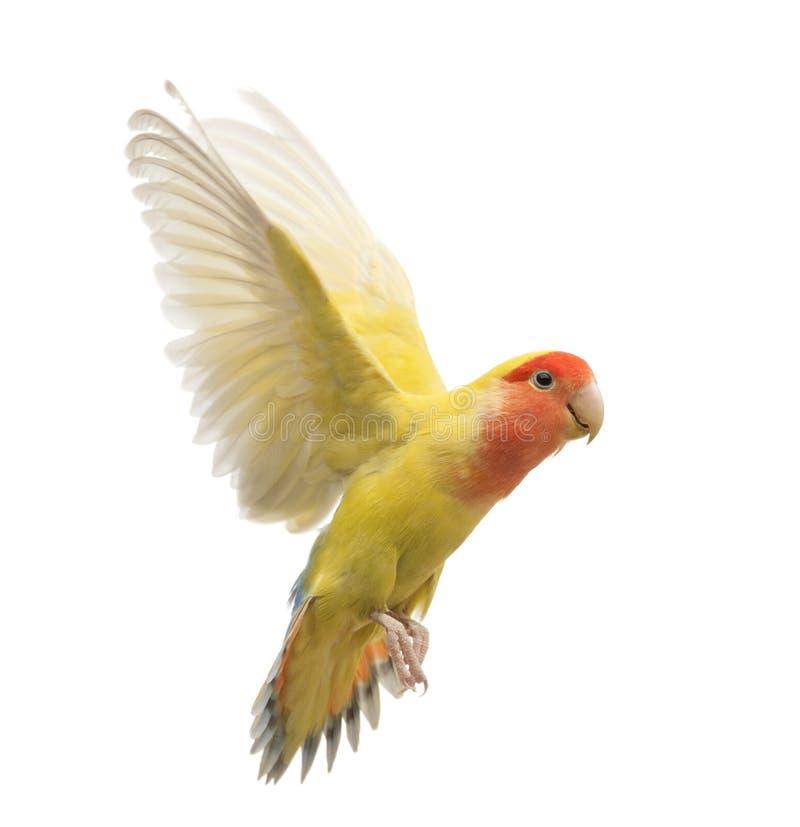 Rosig-gegenübergestelltes Lovebirdflugwesen lizenzfreie stockbilder