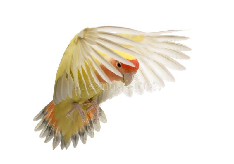 Rosig-gegenübergestelltes Lovebirdflugwesen stockbilder