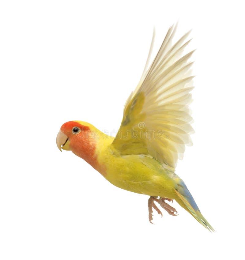 Rosig-gegenübergestelltes Lovebirdflugwesen lizenzfreies stockfoto