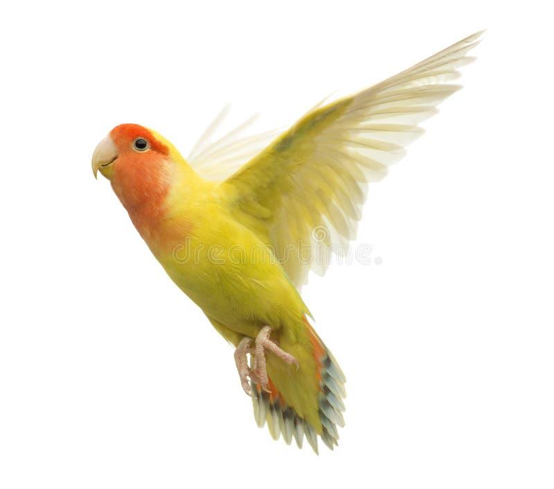 Rosig-gegenübergestelltes Lovebirdflugwesen stockfoto