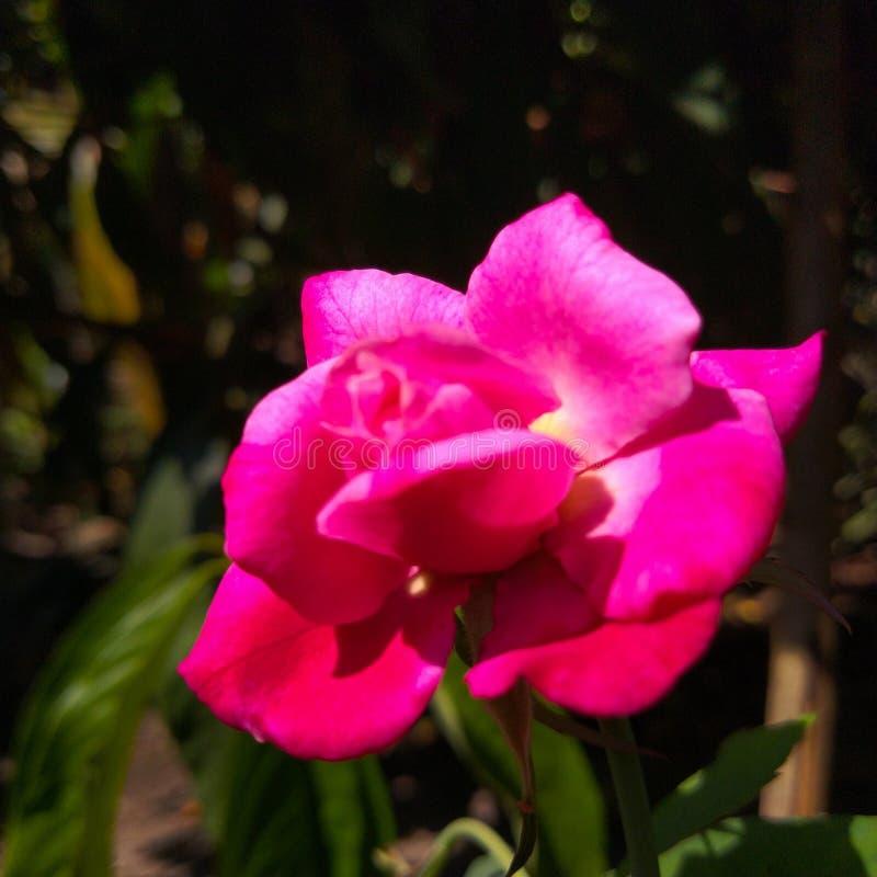 Rosig ros, att fascinera blomman i mörkret arkivfoton
