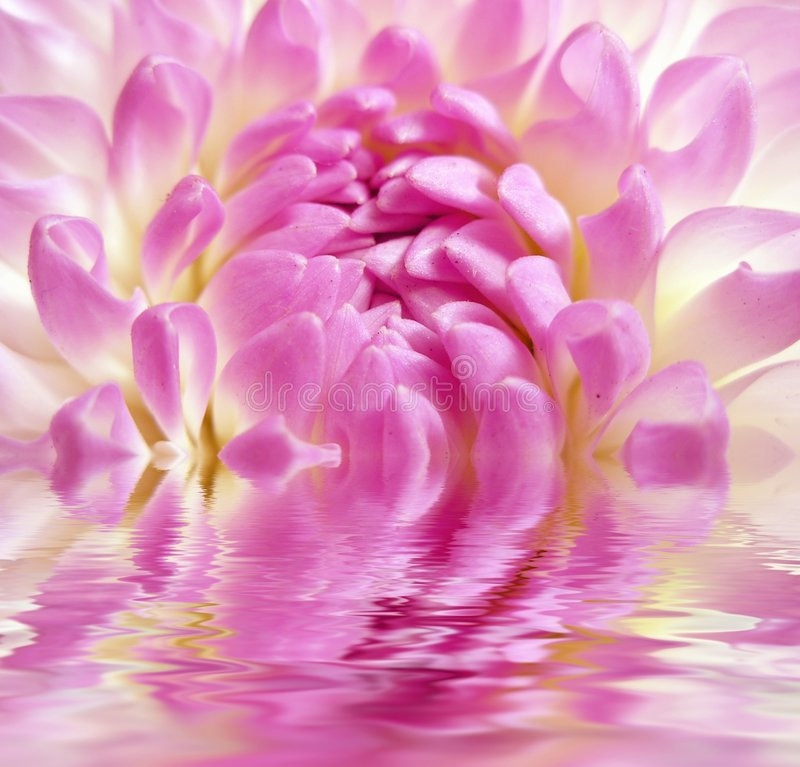 rosigt vatten för fin blomma arkivfoto
