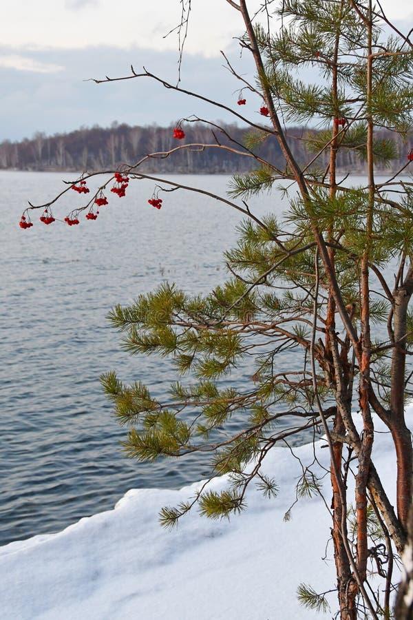Rosja, Chelyabinsk region Sosna i Rowan rozgałęziamy się na tle jeziorny Uvildy w połowie listopadej w chmurnym dniu zdjęcia royalty free
