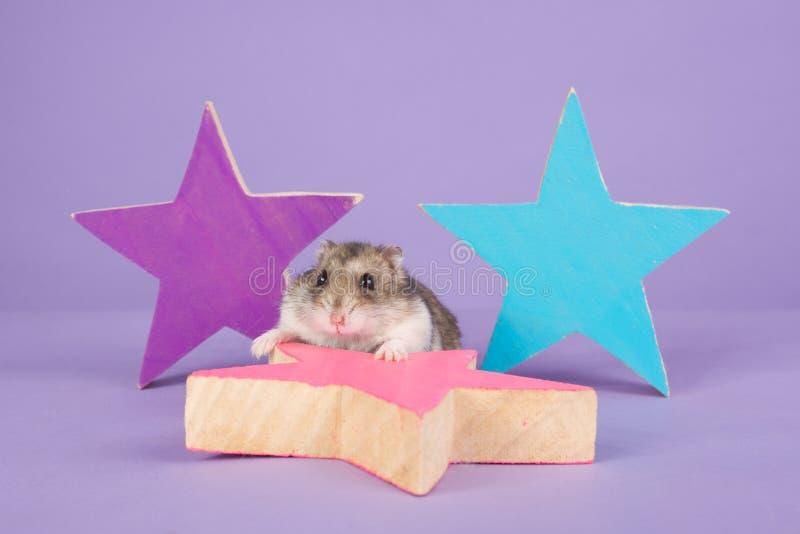 Rosjanina karłowaty chomik na purpurowym tle zdjęcie stock