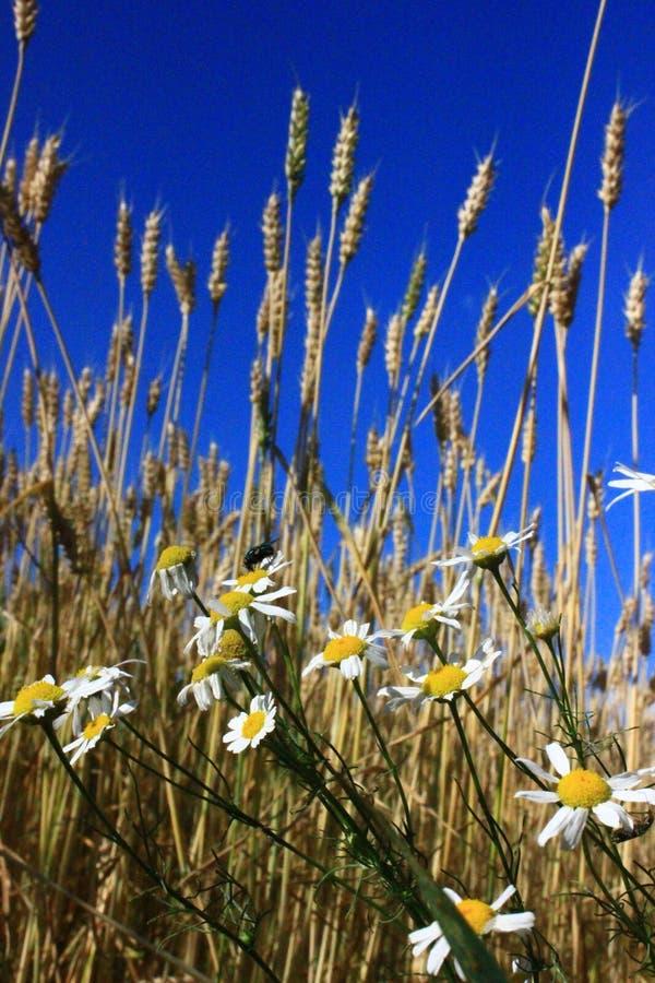 Rosjanina pole przeciw niebieskiemu niebu obrazy stock