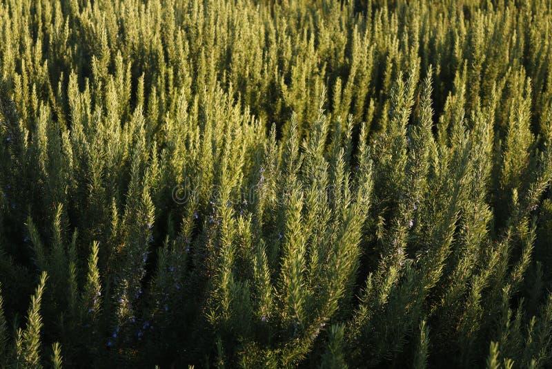 Rosmarin-Büsche, Heilpflanzungen lizenzfreies stockfoto