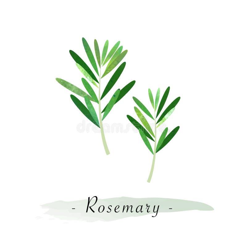Rosmarin för grönsak för färgrik vattenfärgtexturvektor en sund royaltyfri illustrationer