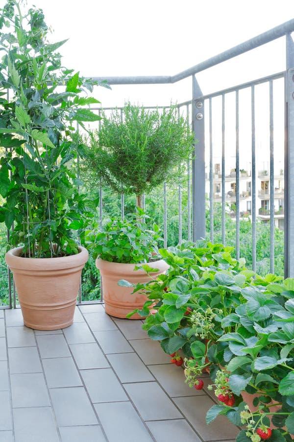 Rosmarin för jordgubbetomaten planterar krukabalkongen royaltyfria bilder