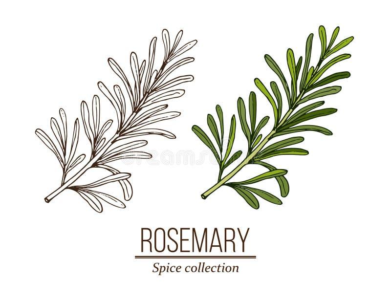 Rosmarin, krydda och medicinsk ?rt vektor illustrationer