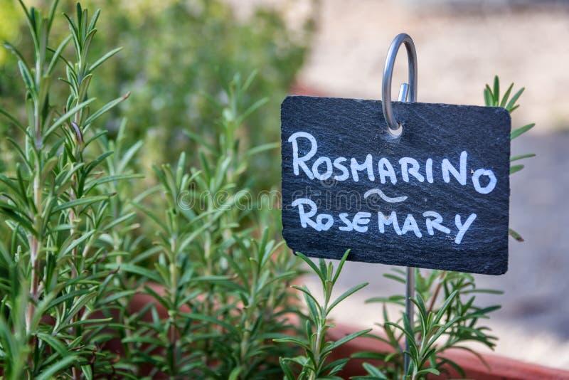Rosmarin som växer i en trädgård som märks i engelskt och italienskt arkivfoto