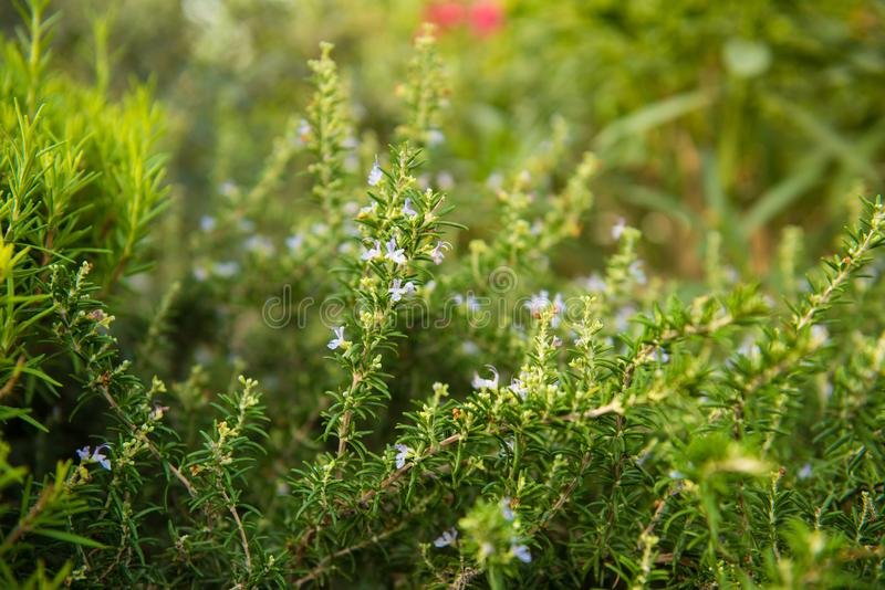 Rosmarinus officinalis, Prostratus. A hardy, fast-growing evergreen shrub, creeping rosemary has a prostrate habit and attractive flowers and fragrance. Dark royalty free stock photography