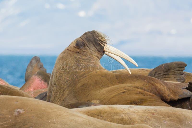 Rosmarus con los colmillos grandes que mienten, mar azul del odobenus de la morsa imagen de archivo libre de regalías