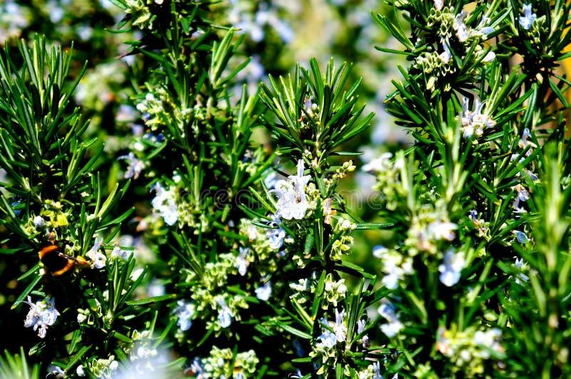 Rosmary na flor imagem de stock royalty free
