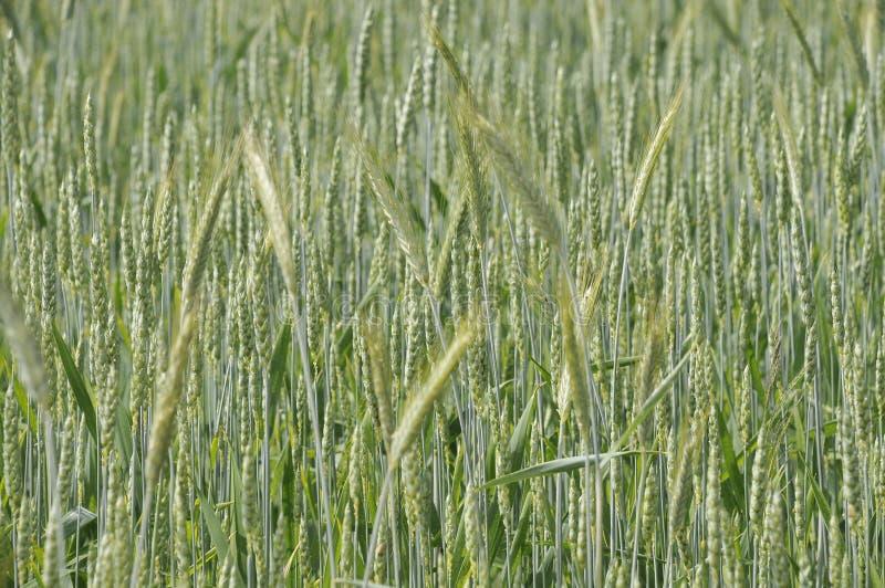 rosnąca pszenicy fotografia stock
