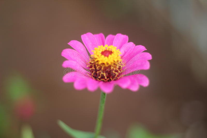 Rosor är blommande royaltyfria foton