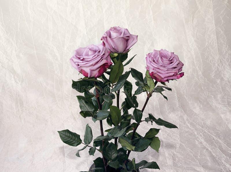 Rosor av grå färger, lila som är varietal fotografering för bildbyråer