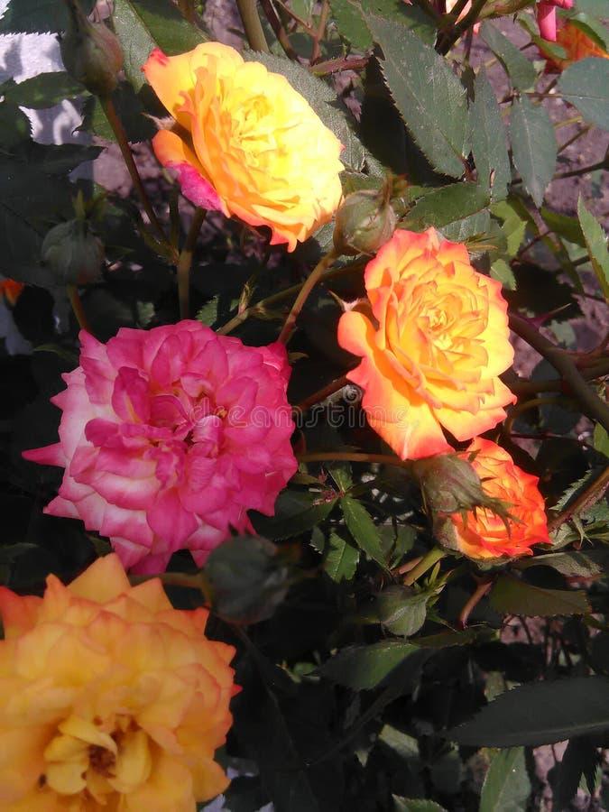 Rosor för en buske arkivbild