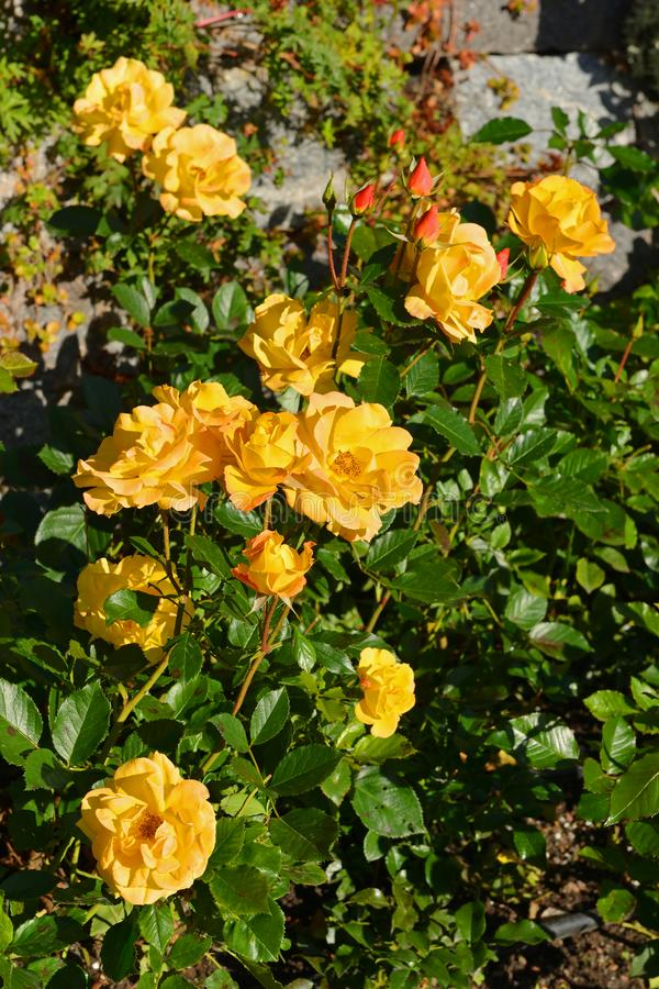 Rosor guld- Marie i höst fotografering för bildbyråer