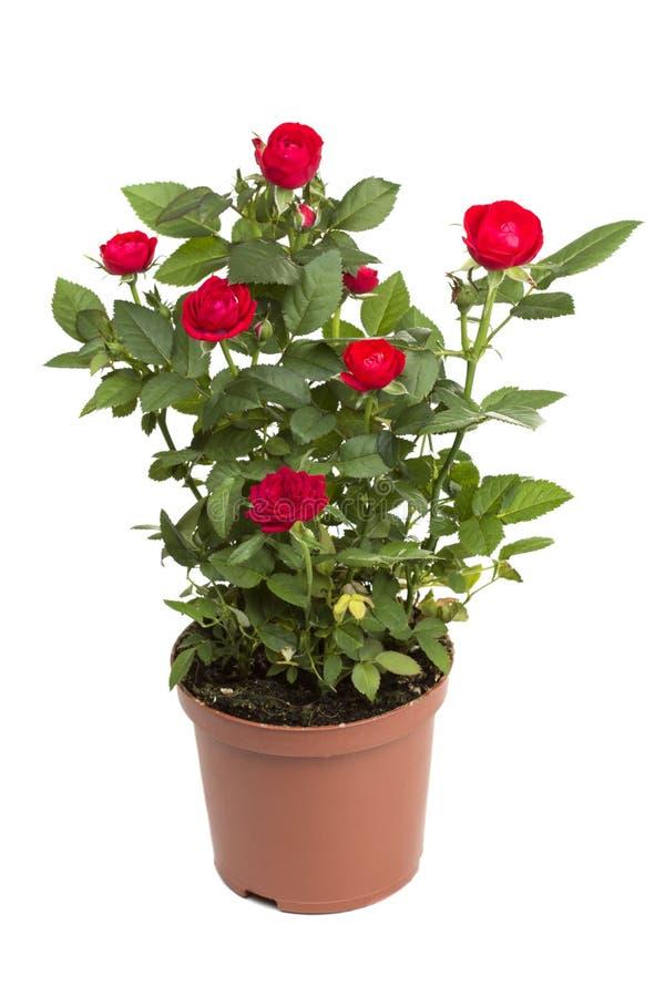 Rosor i en blomkruka fotografering för bildbyråer