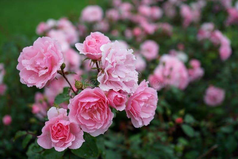 Rosor i parkera efter regnet royaltyfria bilder