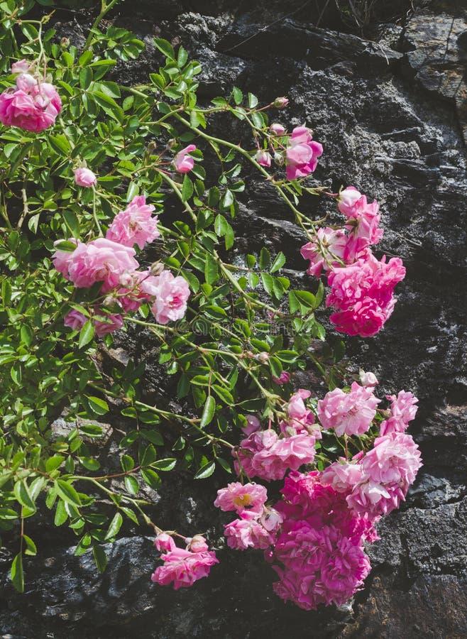 Rosor i rosa buske utomhus arkivbild