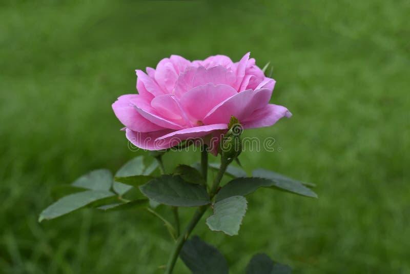 Rosor planteras i trädgården framme av huset De rosa blommorna ser härliga arkivfoto