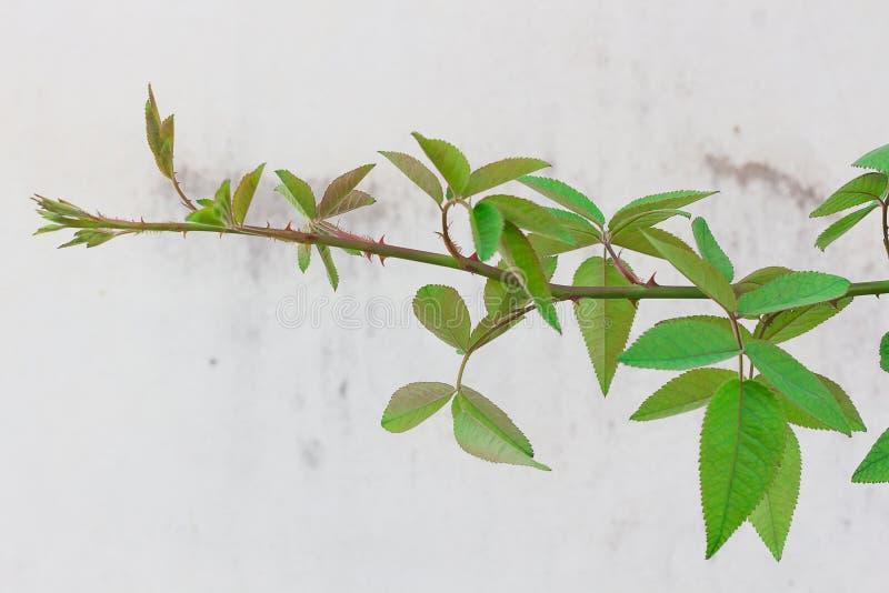 Rosor, vinrankor och sidor överst av grön bakgrund med den vita väggen fotografering för bildbyråer