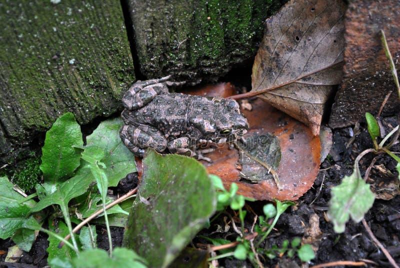Rospo a terra che si siede sulle foglie marcie immagini stock libere da diritti