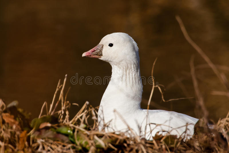 Download Ross's Goose stock photo. Image of protuberance, white - 22546916