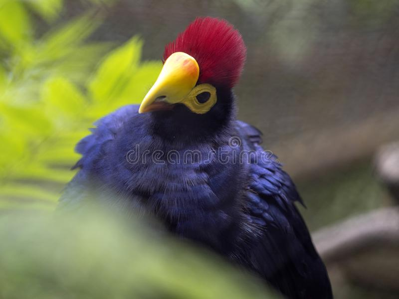 Ross`s Turaco, Musophaga rossae, a beautiful bird with a distinct red crest. The Ross`s Turaco, Musophaga rossae, a beautiful bird with a distinct red crest stock photography