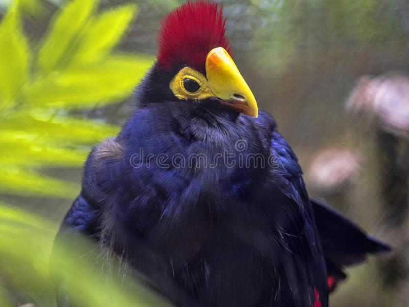 Ross`s Turaco, Musophaga rossae, a beautiful bird with a distinct red crest. The Ross`s Turaco, Musophaga rossae, a beautiful bird with a distinct red crest royalty free stock images