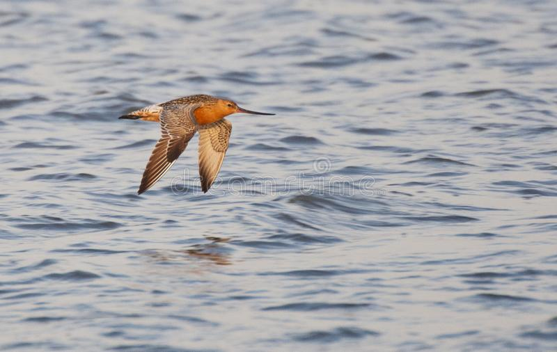Rosse Grutto, Bar-tailed Godwit, Limosa lapponica stock photography