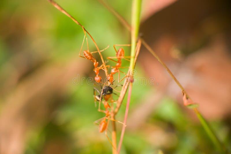 Rosse la spia presa tre formiche delle altre specie e strappare immagini stock libere da diritti