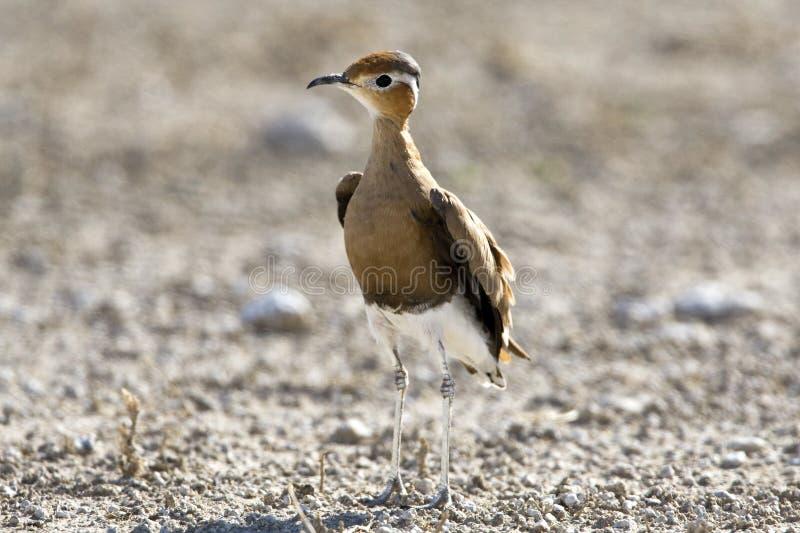 Rosse Renvogel, Burchell \ 's Courser, Cursorius-rufus stock foto's