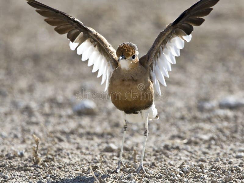 Rosse Renvogel, Burchell \ 's Courser, rufus do Cursorius fotografia de stock