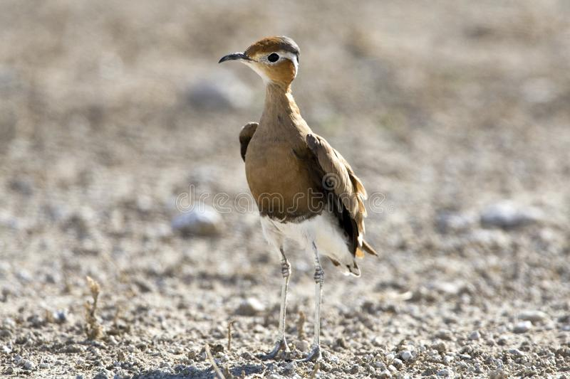 Rosse Renvogel, Burchell \ 's Courser, rufus do Cursorius fotos de stock