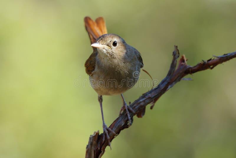 Rossignol commun, (megarhynchos de Luscinia) photographie stock