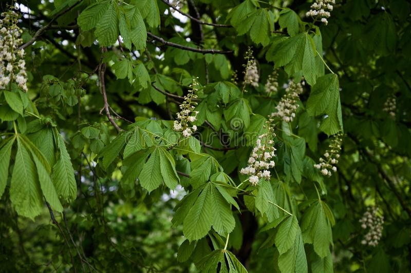 Rosskastanie Conker-Baum in der Blüte lizenzfreies stockbild