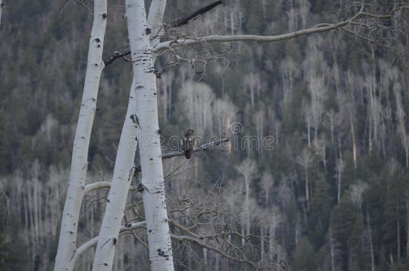 Rosso-coda dei prati del medaglione, falco Rosso-munito, albero per bandiera, Arizona immagine stock libera da diritti