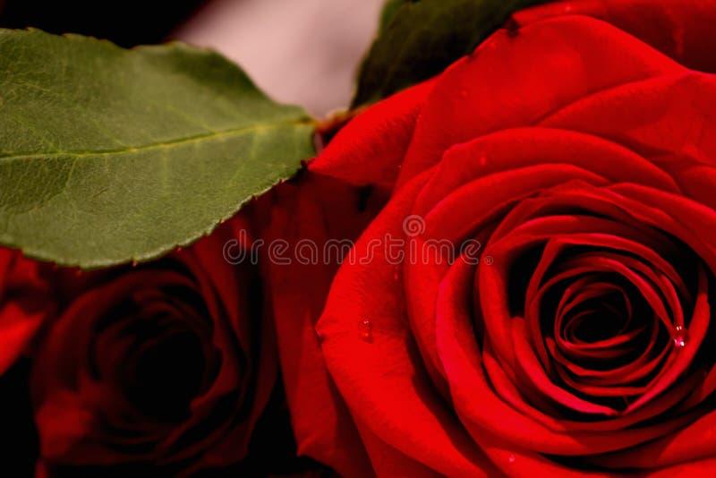 Rosso come rosa fotografia stock libera da diritti