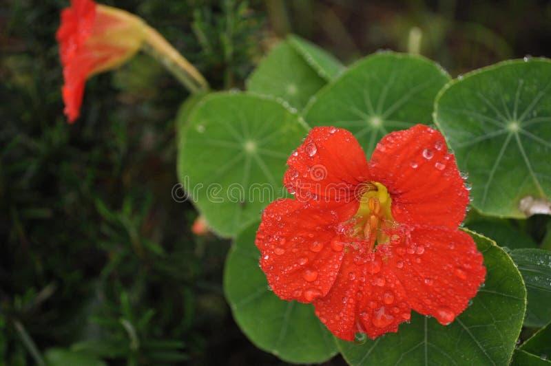 Rosso del fiore immagini stock libere da diritti