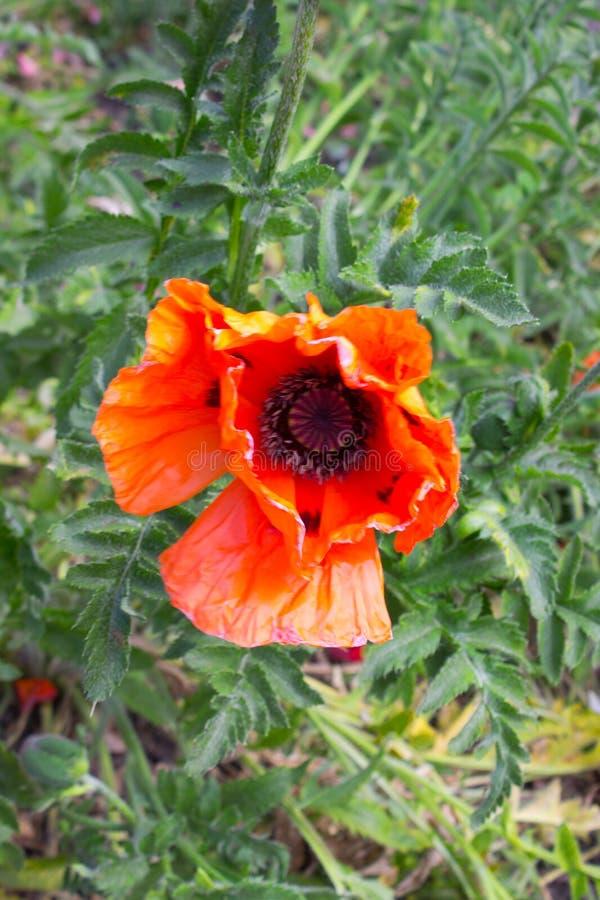 rosso del fiore del papavero immagine stock libera da diritti