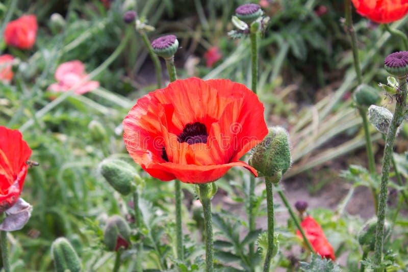 rosso del fiore del papavero immagini stock
