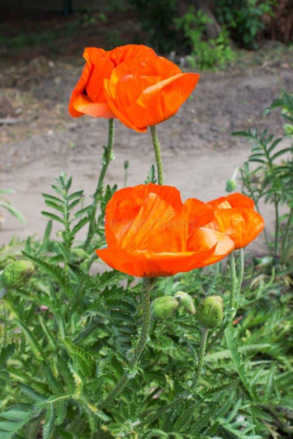 rosso del fiore del papavero fotografie stock